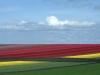 Caleffi Giuseppe (AFI) - La collina dei Tulipani n°5