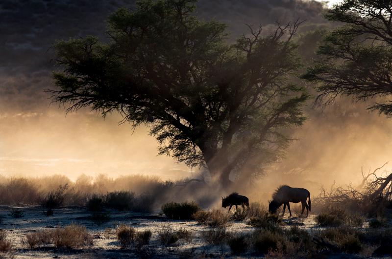 Blue-wildebeestZanetti-Mirko-AFI-EFIAP_sAnzola-dellEmiliaBO-Sonic