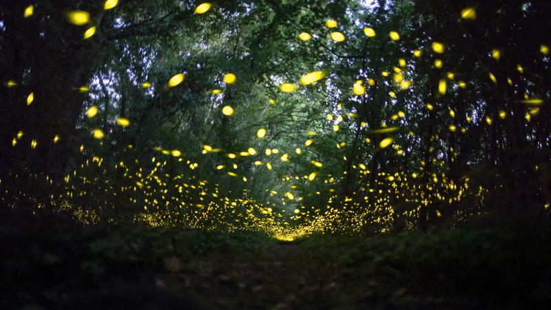 Nel-bosco-delle-luccioleBianchedi-Flavio-AFIFaenzaRA-Il-Circolino