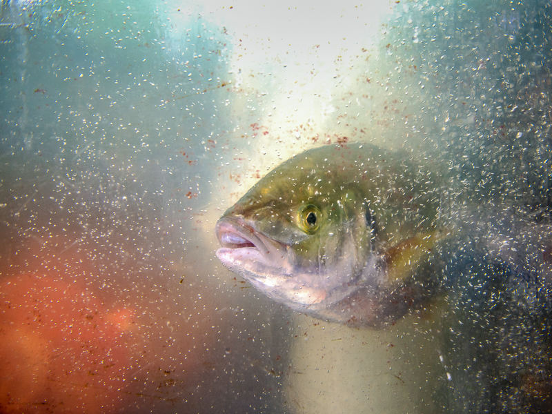 """Brega Giulio-""""The fish""""-2019"""